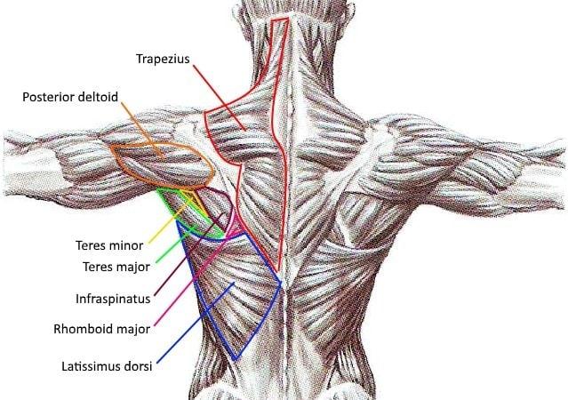 Upper Back Exercises Muscles Myolean Fitness